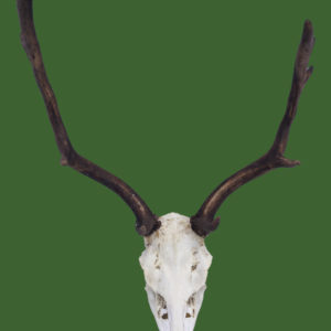 Fallow Deer Antlers